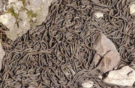 Narcisse-Snake-Dens in Narcisse,Manitoba..