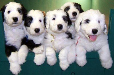 HOME - Barbs Lovable Old English Sheepdog Puppies