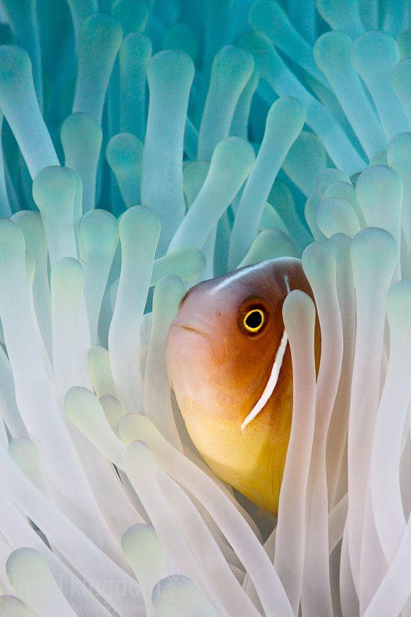 "100leaguesunderthesea: "" Pink Skunk Clownfish by Kim Yusuf """