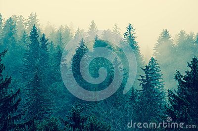 Blue Forest View in Transylvania`s foggy mountains