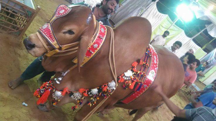 Decorated Bull on Eid ul Azha