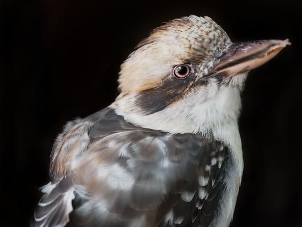 Kooka  - bird photography print by nature photographer and wildlife carer Angela Roberston-Buchanan. #lifebetterwithart