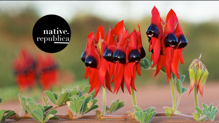 NativeRepublica is a little Australian seed company that aims to bring heirloom Australian native wildflowers to the rest of the world