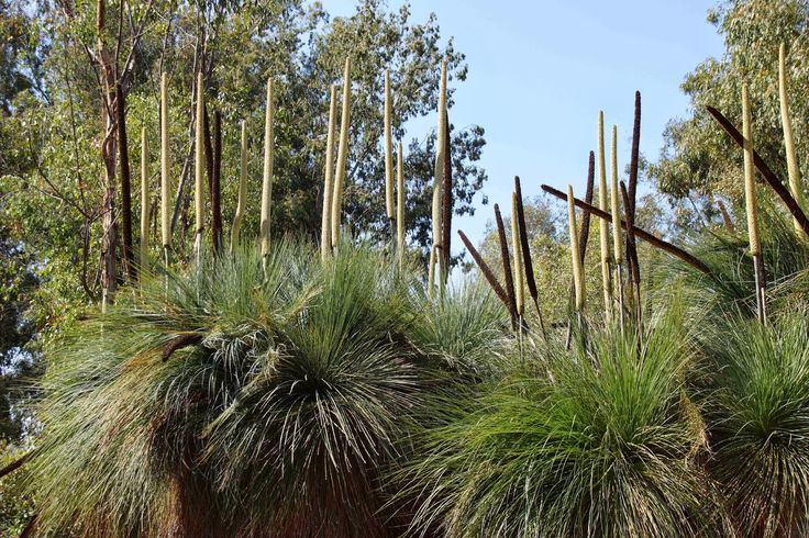Xanthorrhoea quadrangulata.  The black spikes are last year's flower stalks, the ivory are this year's