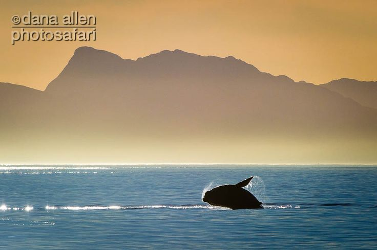 Southern Right Whale, Gansbaai South Africa