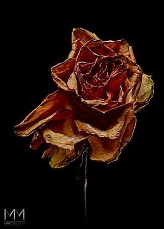 decay rose III