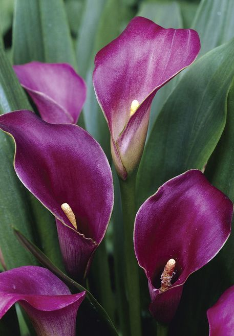 25 best purple calla lilies ideas on pinterest purple. Black Bedroom Furniture Sets. Home Design Ideas