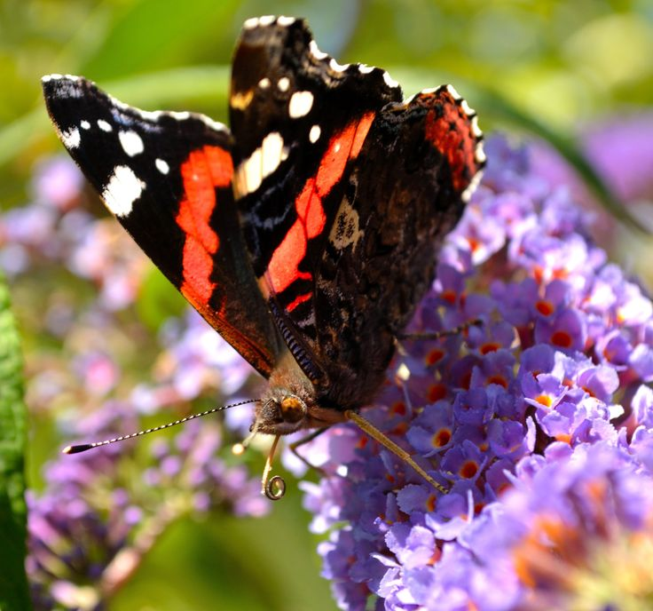 Butterfly by Tine Nordbred on 500px #butterfly #summer #flower
