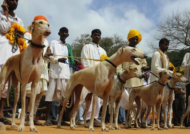 Mudhol Hound is a common companion amongst village folk in India's Deccan Plateau, who use the dog for hunting and guarding.