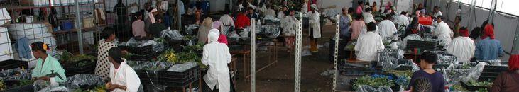 <p>Drie Nederlandse bedrijven waren in 2003 actief in Ethiopië. Tien jaar later tellen we er 89. Vooral de bloemenkwekers zijn sterk vertegenwoordigd. 'Voor tuinders liggen er enorm veel kansen', meent Geert Westenbrink. 'Niet alleen voor bloemen, maar ook voor groenten en fruit.' Tot anderhalf jaar terug was Westenbrink Landbouwraad in Ethiopië. Toen de minister van landbouw een bezoek bracht aan Nederland, sloot hij graag aan bij de reis van deze Ethiopische delegatie. Om banden aan te ...