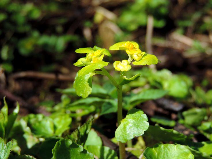 Śledziennica (Chrysosplenium L.)
