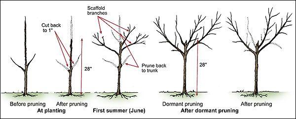 Pruning peach trees