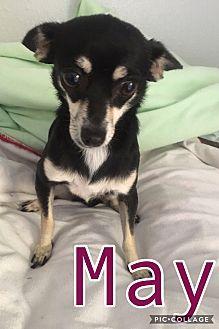Mesa, AZ - Chihuahua Mix. Meet MAY - 4 YEAR CHIHUAHUA FEMALE, a dog for adoption. http://www.adoptapet.com/pet/19179996-mesa-arizona-chihuahua-mix