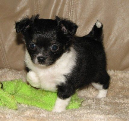 Claire x Will - Black and white female longcoat Chihuahua puppy