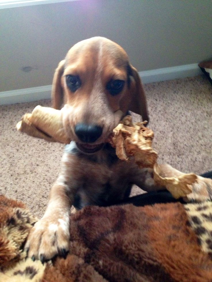 Blue tick beagle puppy! I'd like to imagine this is what Dixie looked like as a pup!! (We got her at 9 months)