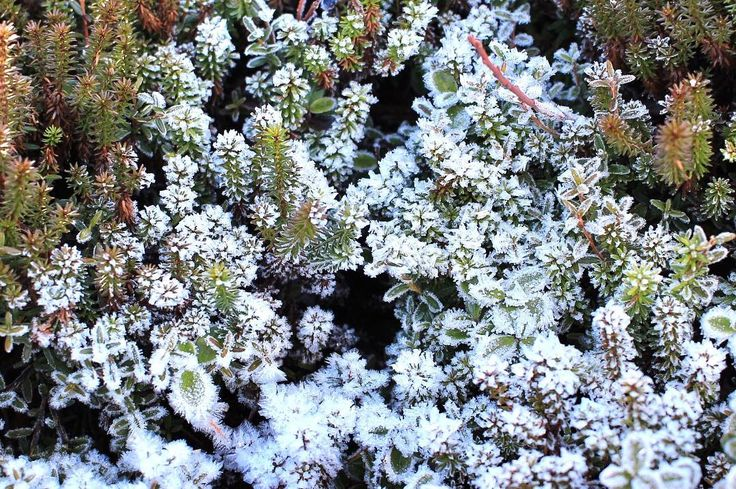 2017.11.10 北八ヶ岳坪庭であ花が咲いてるじゃなかったとなってしまいました 日陰はお昼になってもまだ溶けなかったのね #蓼科 #北八ヶ岳 #坪庭 #2237m