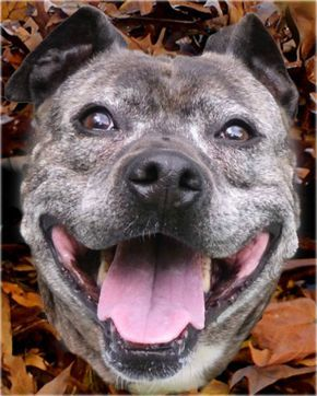 Pit Bull Terrier Female Adult
