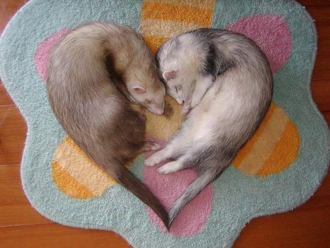 Oh, ferrets...