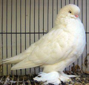tumbler pigeons - Google Search