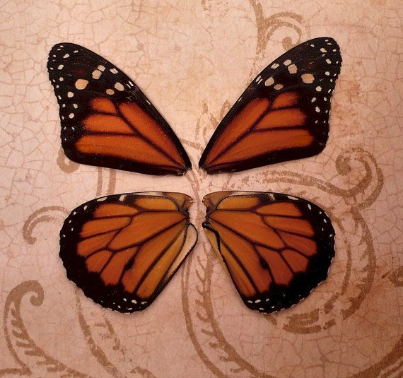 Real Monarch Butterfly Wings | Butterflies, Monarch ...