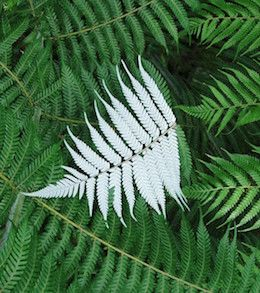 Silver Fern (Cyathea dealbata), also called ponga in Maori language, is the most well known fern in New Zealand. Widely used on rugby shirts, sports flags and [...]