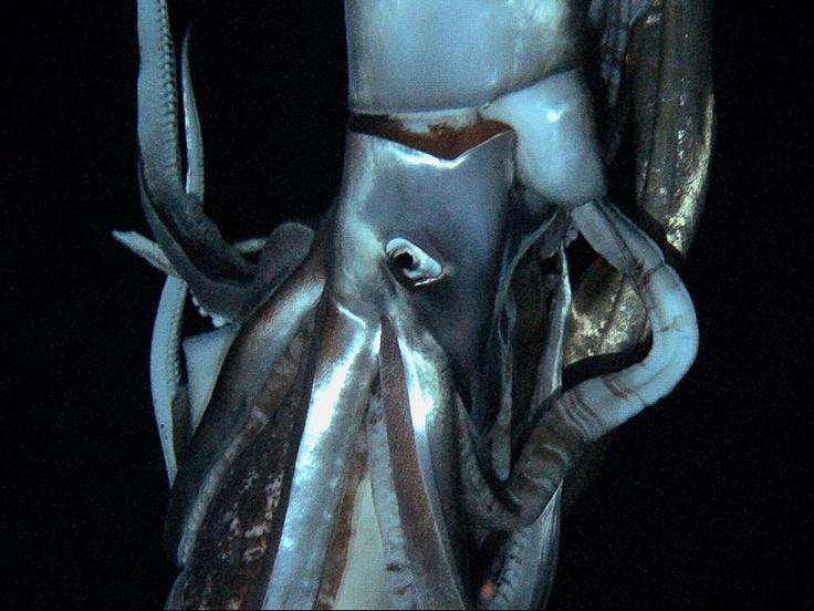 Eerste beelden van mythische reuzeninktvis