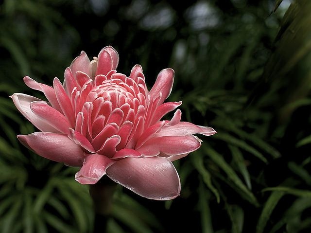 Torch Ginger Flower - Malaysian Ingredients