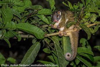 Green Ringtail #Possums live in the Tropical #Rainforests in northern #Queensland, #Australia