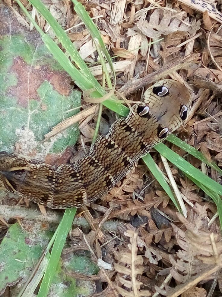 Elephant hawk moth caterpillar found at the wyre forest