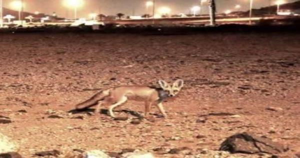 بالفيديو حيوانات مفترسة تنتشر في مكة وتثير الفزع بين السعوديين Animals Kangaroo