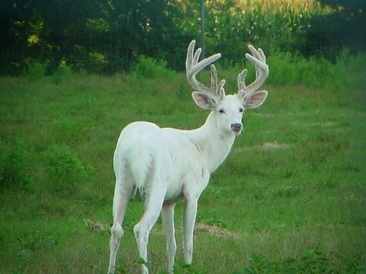 Pin By Laura Schwarz On Tiere In 2020 Albino Deer Deer Pictures Albino Animals