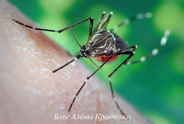 Как и почему кусает комар? Народные средства от укусов комаров. Как предупредить укусы. Что делать если укусил комар?