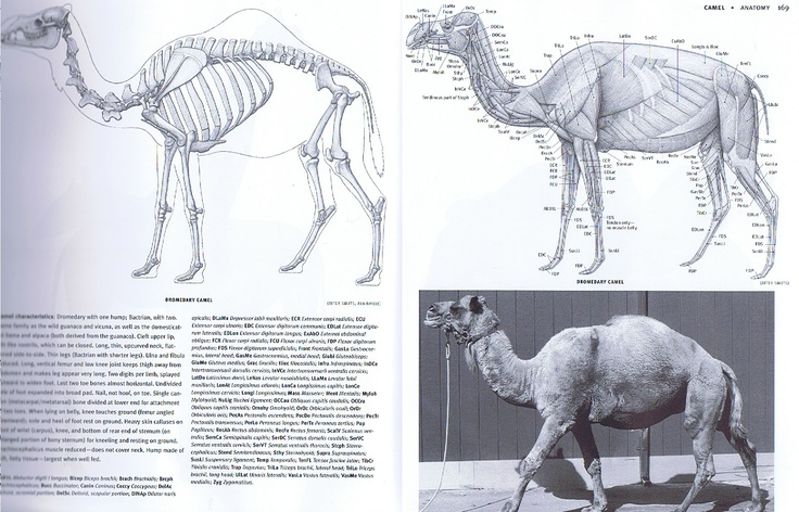 The camel is another that could be a beast of burden or a mount. It's long neck shares some similarities with the giraffe. Notice the cervical vertibrae are not only more numerous, but more elongated with greater ridges for neck muscles than oxen or horses. The head isn't heavy, but the neck is long. Compare the structure to the stout, heavy neck of the elephant.