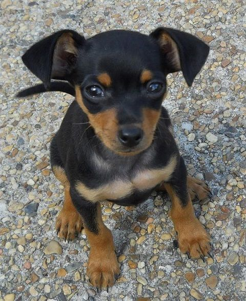 ♥DS♥ 222 Miniature Pinscher Puppy