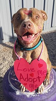 PHOENIX, AZ - SULTAN is an AMERICAN PIT BULL TERRIER for adoption who needs a loving home.