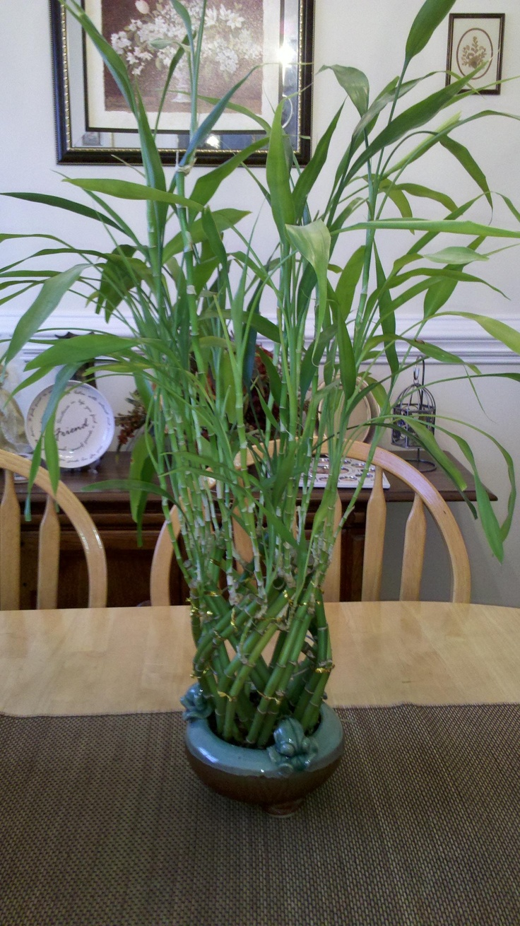With Love, anything is possible...  one of our neighbors was moving to Florida and didn't want this Lucky Bamboo.   Poor plant,  it was in a very bad shape and sick and I nursed it back to Live.    Isn't it pretty?
