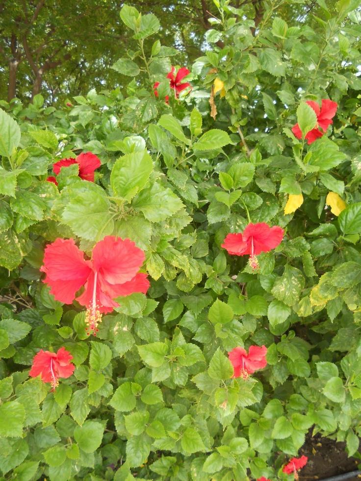 Haiti / Haití: Chinese hibiscus, China rose, shoe flower ...