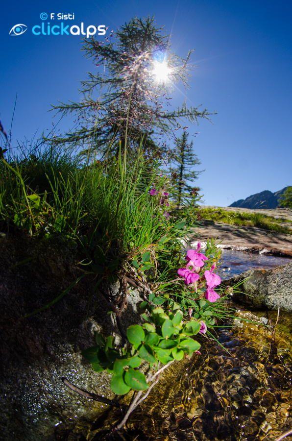 Pedicularis kerneri (Vallone di Forzo, Valle Soana, Piemonte, Parco Nazionale…