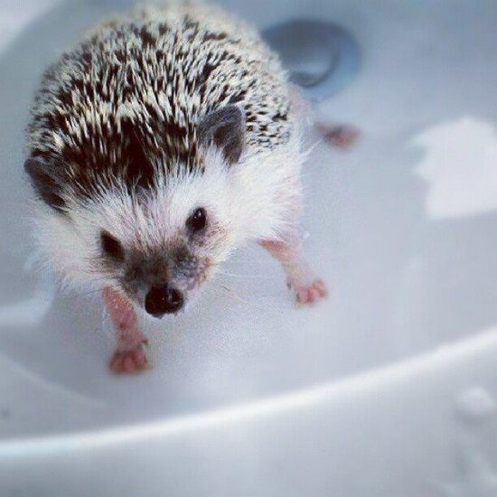 179 best Hedgehogs images on Pinterest | Adorable animals Baby hedgehogs and Hedgehog care : litter box for hedgehog - Aboutintivar.Com