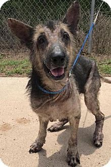 • June 24 2017 • New York, NY - German Shepherd Dog. Meet Xavier a Dog for Adoption. Available at Rescue Dogs Rock.
