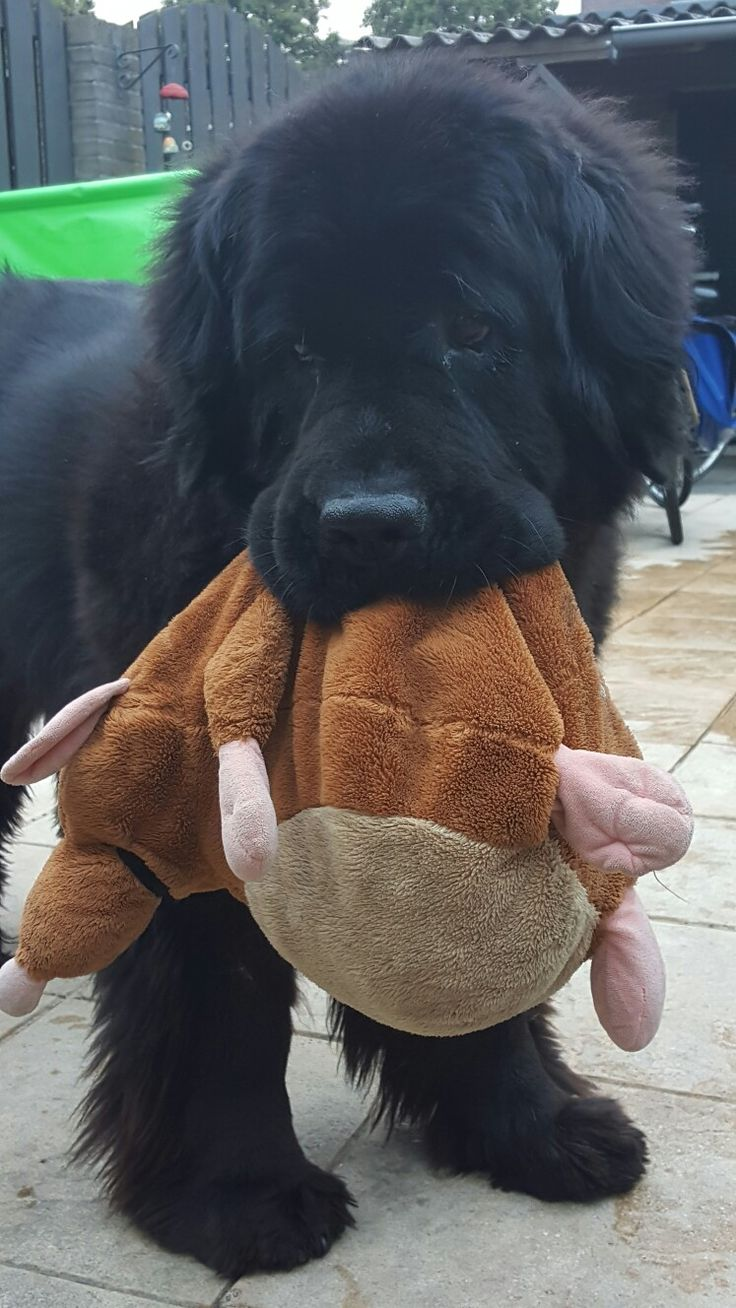 25 Best Newfoundland Puppies Ideas On Pinterest Big Dog