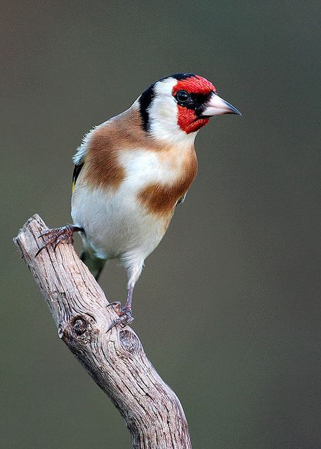 EUROPEAN GOLDFINCH - Carduelis carduelis carduelis . . . Europe, N Africa, W & C Asia. Migrates from colder regions.- by Cris Figueired♥