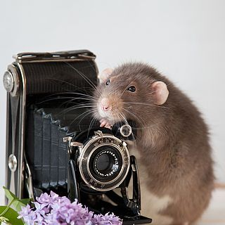 Автор фотографии - фотограф профессионал Eleonora Grigorjeva. Охота на эквилибриста. Страна Латвия. Город Рига. , крыса-дамбо, натюркотики, крысиные истории, прялка, сфинкс, британский короткошерстный кот, нитки, шерсть, пряжа