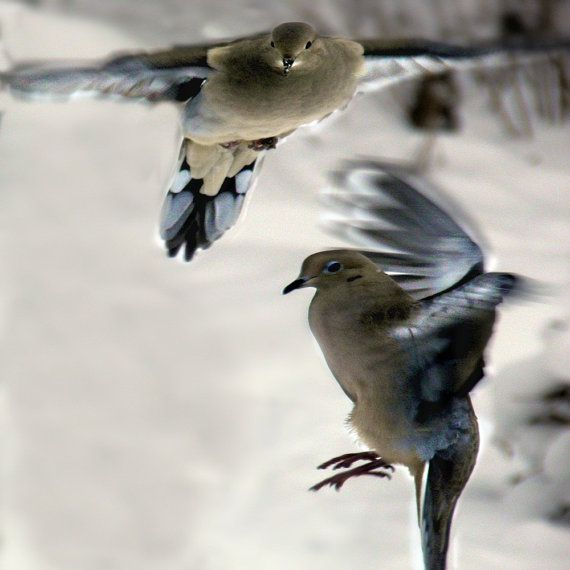 Beautiful Mourning Doves