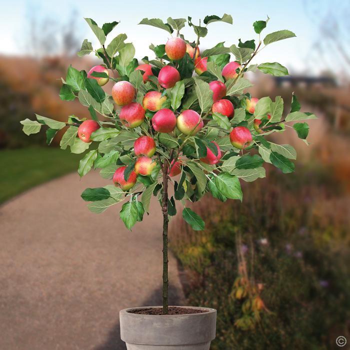 Patio Apple tree