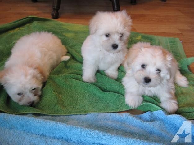 Lhatese Lhasa Apso Maltese Mix Puppies For Sale In Bedford Iowa Dogcrateolx Puppies Lhasa Apso Lhasa