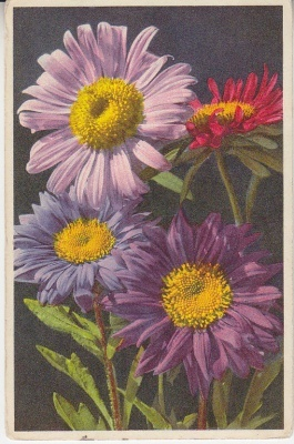 Thor E Gyger Postcard - 747 Callistephus chiensis, Sommeraster, Reine Marguerite, China Aster, Astro