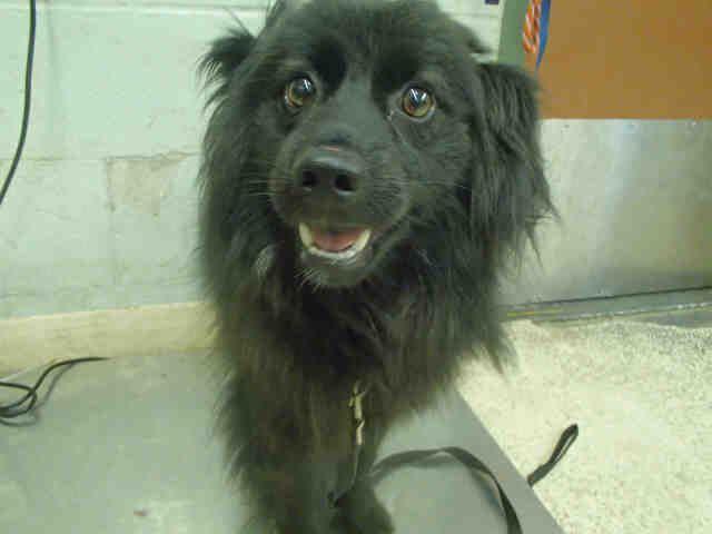 Pomeranian dog for Adoption in Rancho Cucamonga, CA. ADN-643441 on PuppyFinder.com Gender: Female. Age: Adult