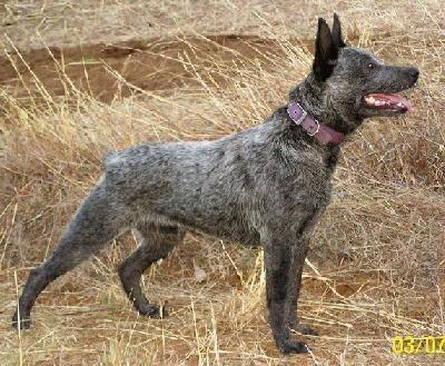 Australian Stumpy Tail Cattle Dog: Australian Cattle Dogs, Australian Stumpi, Cattle Dogs Blu, Dogs Breeds, Pet, Blue Heeler, Tail Cattle, Stumpi Tail, Animal