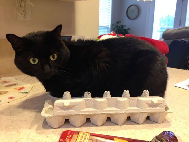 МногоЯйцевый Кот